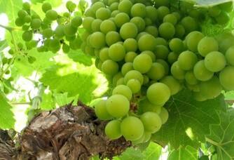Une grappe de la vigne du Domaine Modat