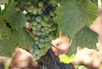 Les grappes de raisin blanc du Domaine Pieracci