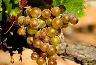 Une grappe de raisins blancs des vignes du Mas Baux
