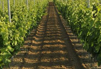 Une vue entre les vignes du Vignoble Ducourt